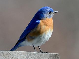 eastern-bluebird-c-dorrie-holmes-320